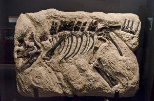 montanoceratops-fosil
