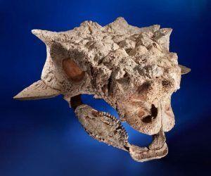 saichania-skull