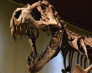 trex-fosil