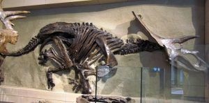 fossil-anchiceratops